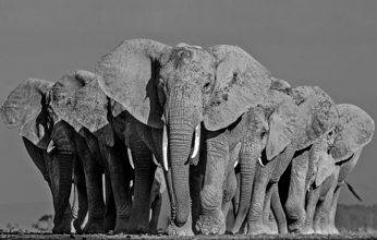 Lars-Beusker-Elephants-On-Earth-346x220.jpg